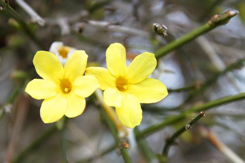 gelb strahlende Schönheit