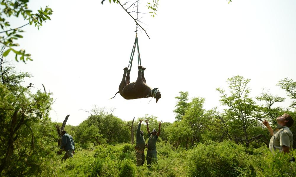 Ground team helps with lowering a black rhino credit green renaissance wwf sa