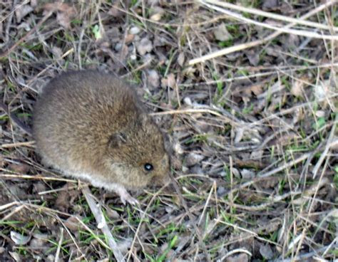 Volcano harvest mouse