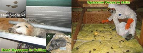 How To Kill Possums With Poison Get Rid Of Possums   Autos Post