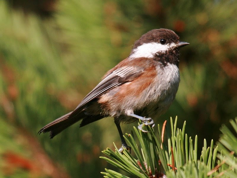 Backyard birds of... Seattle, Washington - Pacific NW Birder