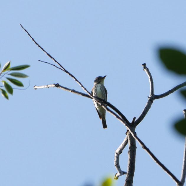 Ed Gaillard: birds &emdash; Olive-Sided Flycatcher, Azalea Pond