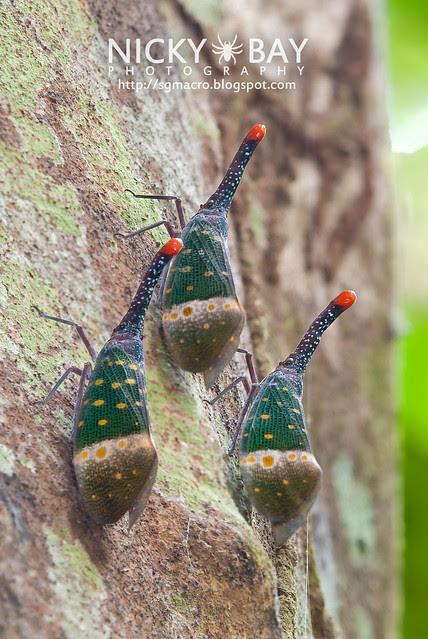 Lantern Bug (Pyrops pyrorhyncha) - DSC_4378
