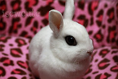 darling bunny Yuki surrounded by pink leopard spots cute rabbit photo by isewcute by isewcute