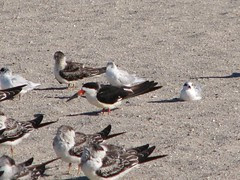 black skimmer and laughing gull