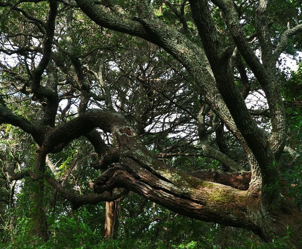 Quercus virginiana 2