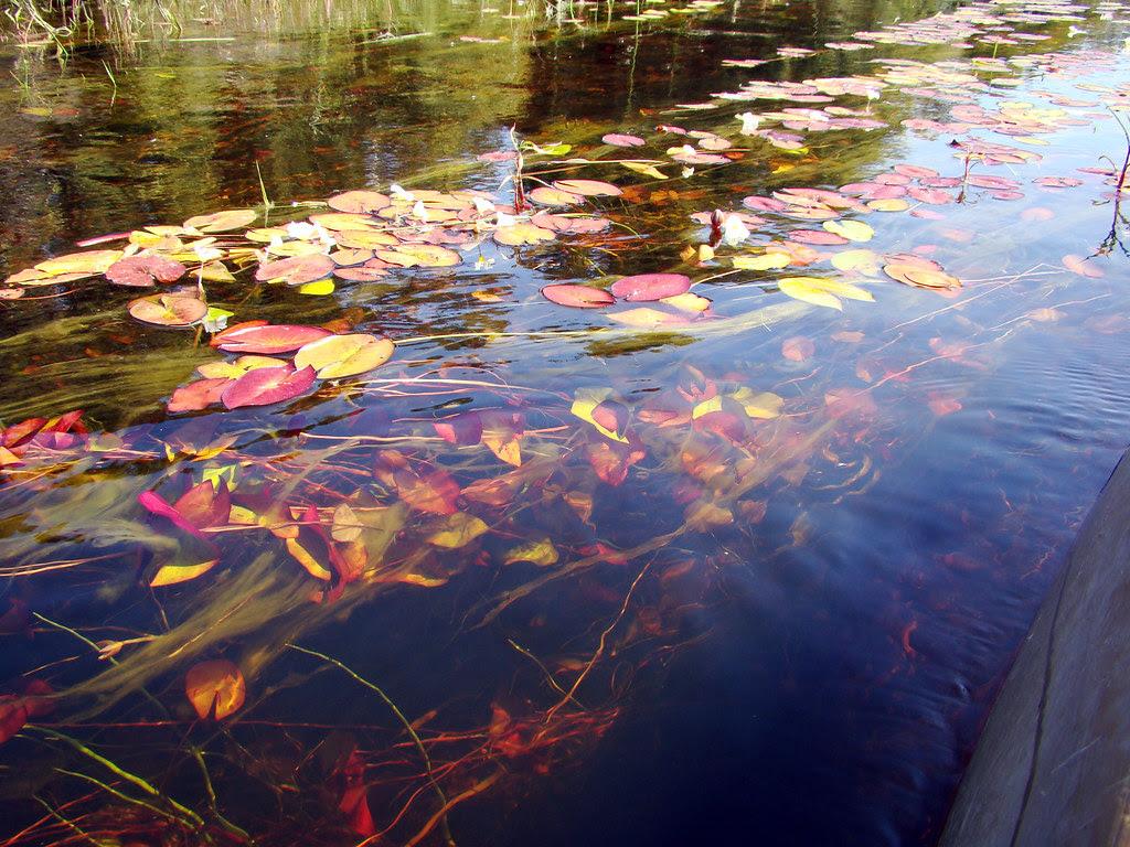 DSC08909 water lilies