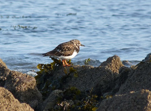 12194 - Turnstone at Port Eynon, Gower