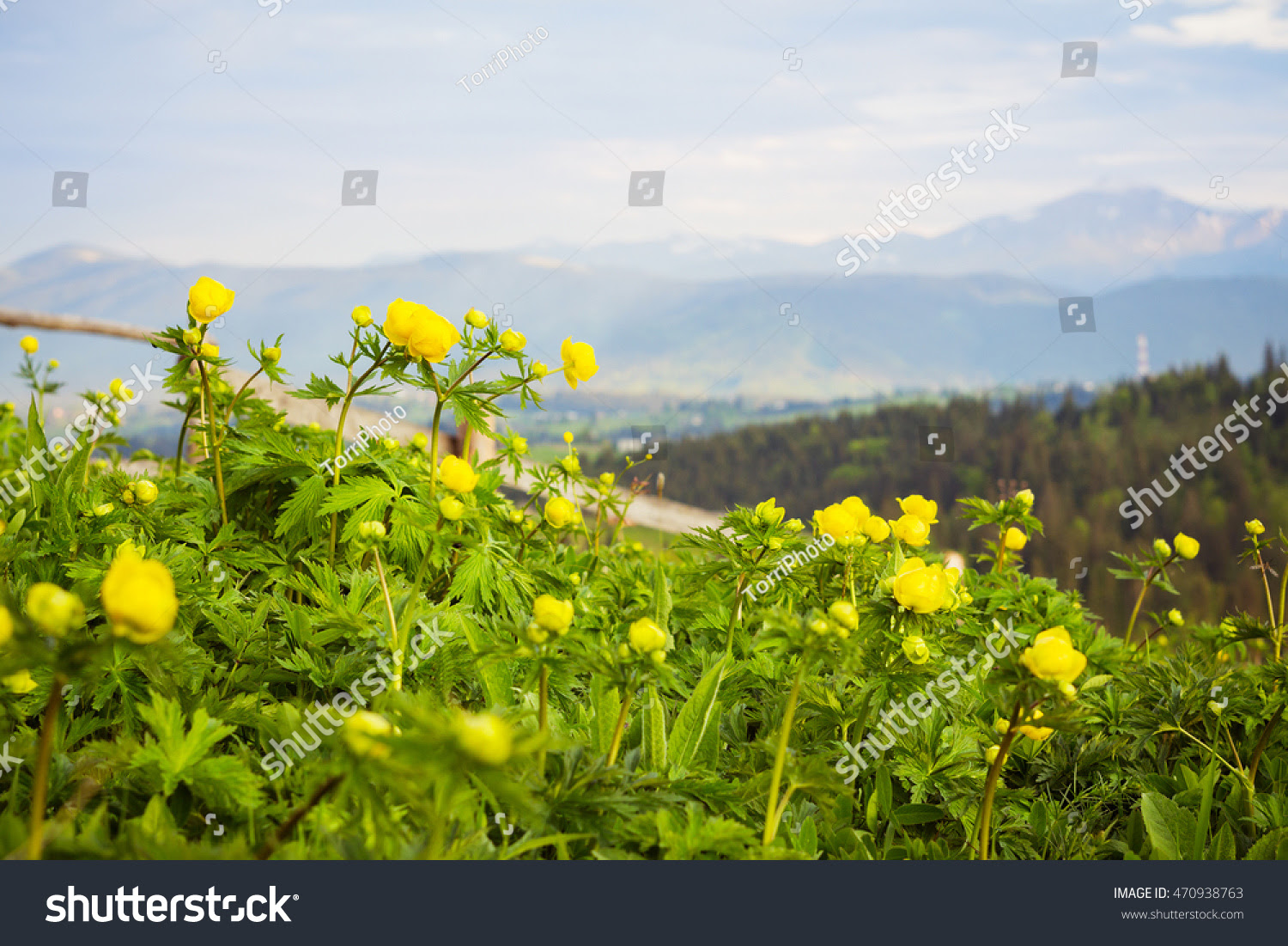 autumn, background, beauty, bloom, blooming, blossom, blossoming, blur, botany, bright, buttercup, closeup, color, colored, europaeus, fall, flora, floral, flower, forest, fresh, garden, globeflower, growth, head, landscape, light, macro, meadow, mountain, natural, nature, petal, plant, ranunculus, scenery, scenic, season, selective, shallow, small, spring, stem, sunset, trollius, vintage, warm, wild, wildflower, yellow