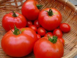トマト植え付けから51日目収穫