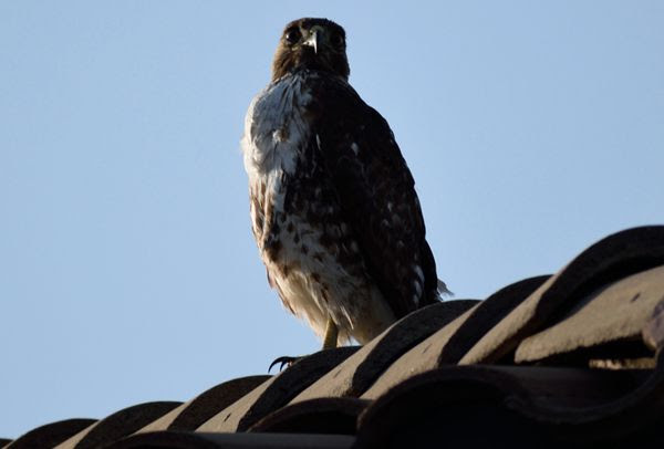 A snapshot of a hawk perched atop the roof of my neighbor's house...on April 28, 2018.