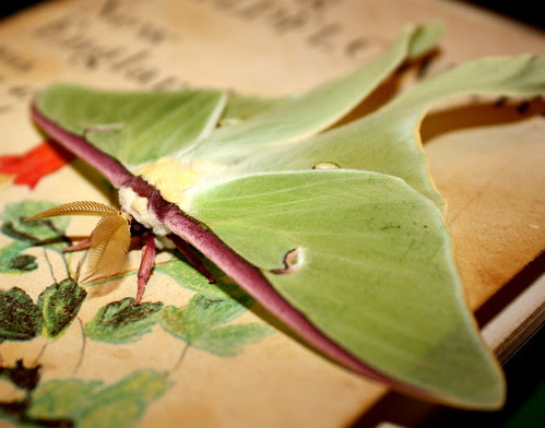 Luna Moth (Actias luna) - 01