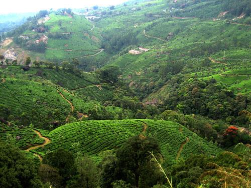 Tea scenery