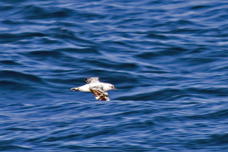 leucistic Black-vented Shearwater