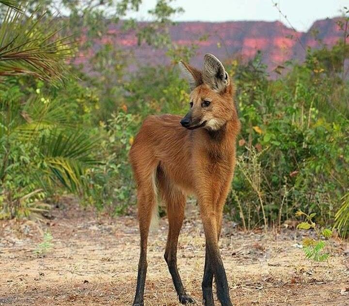 (Endangered species that live in tropical grasslands