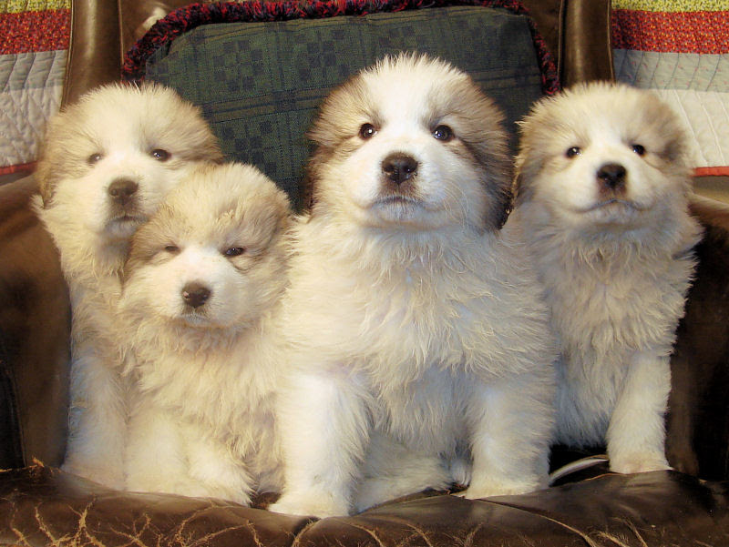 Great Pyrenees Cute Puppy