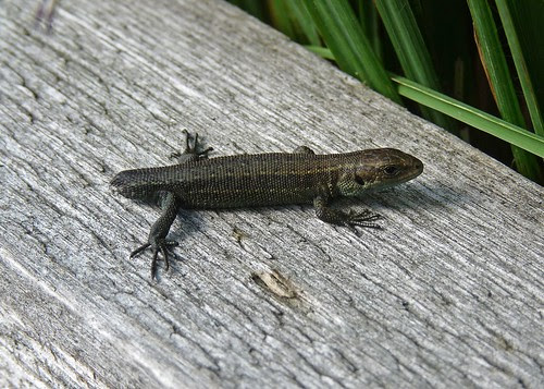 22344 - Common Lizard