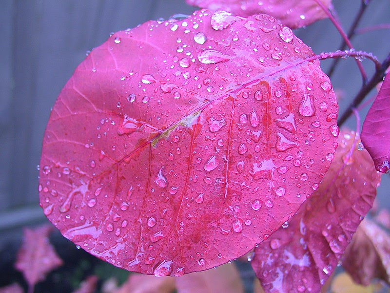 File:Rain on a smoke tree leaf.jpg