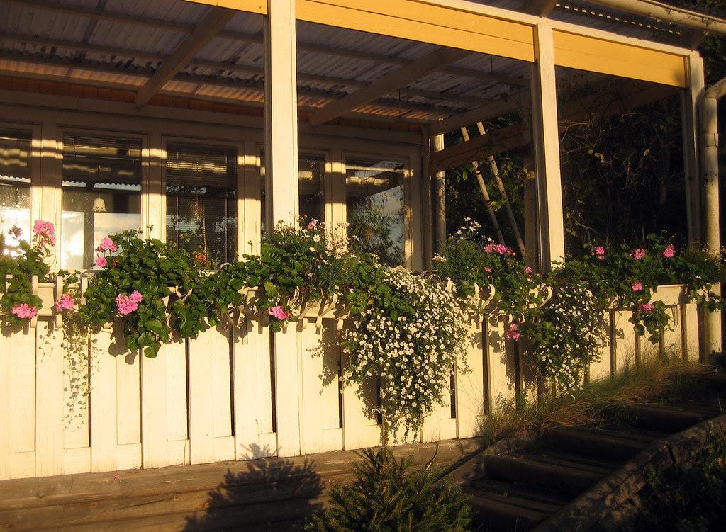 Bacopa, Marguerite daisy and Pelargonium