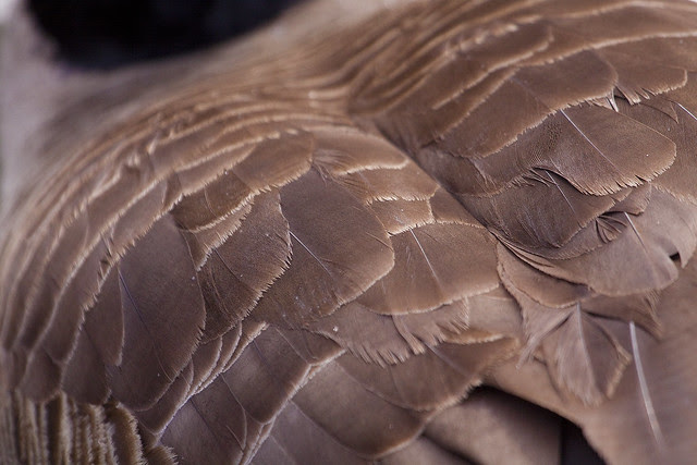 0 goose feathers