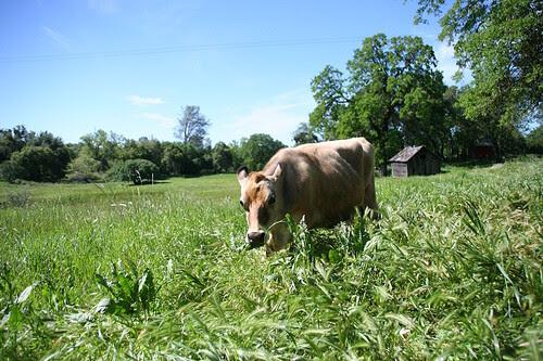 Elsa munching on grass