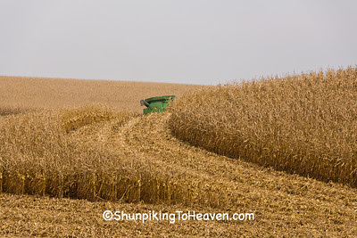 Corn Harvest, Filmore County, Minnesota