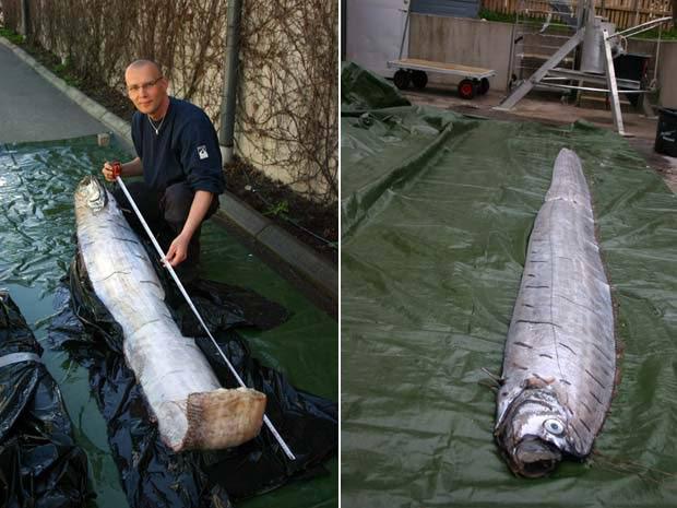 Em 2010, um peixe remo de 3,65 metros foi encontrado em Lysekil, na Suécia. Essa espécie vive em águas profundas e raramente vem à superfície. Foi a primeira vez em mais de 130 anos, desde 1879, que um peixe remo foi achado em águas suecas.  (Foto: AP)