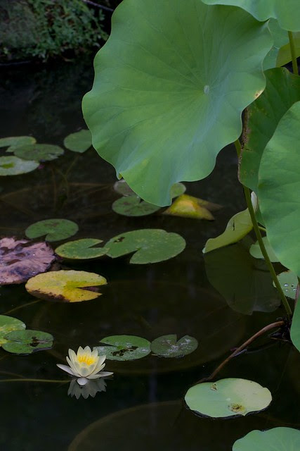 lily pond at Hase Dera