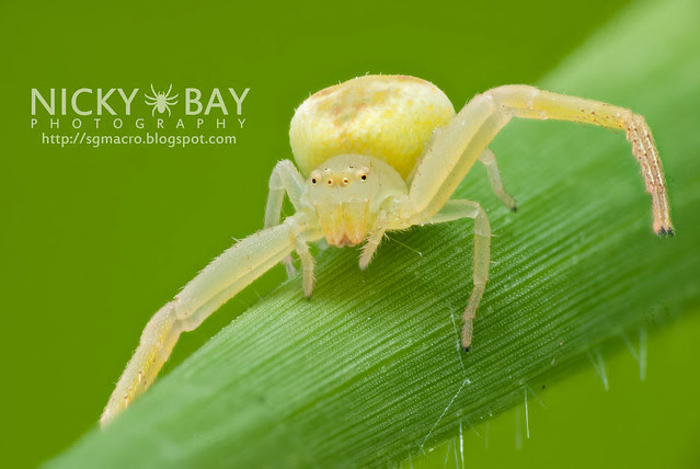 Crab Spider (Thomisidae) - DSC_5013