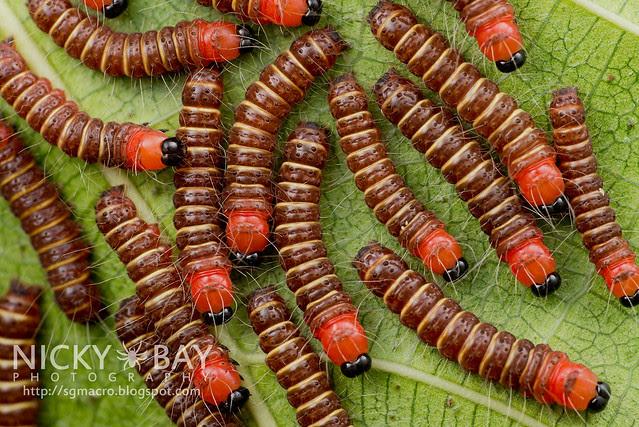 Caterpillars - DSC_2907