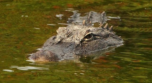 Audubon Rookery, Venice,                                                           Florida