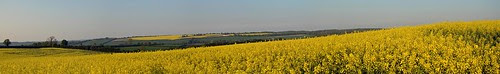 Rapeseed Viewed from Ashley Hill in UK