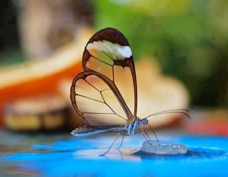 الفراشة الزجاجيه الشفافه فراشة الزجاج Greta oto بالصور 432920.jpg