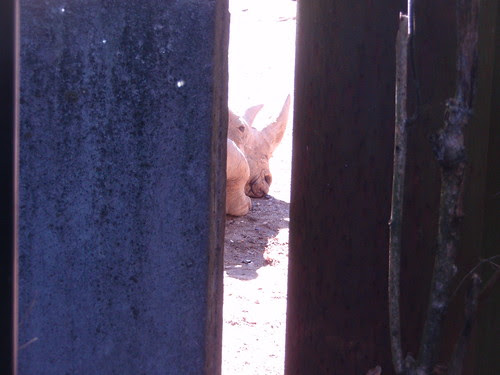 sliver of rhino