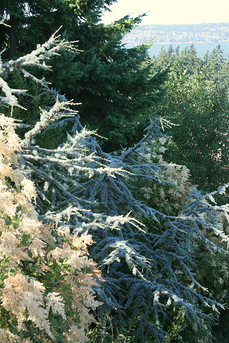 ocean spray and blue atlas cedar
