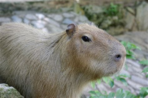 Capybara Facts for Kids   Animal Fact Guide