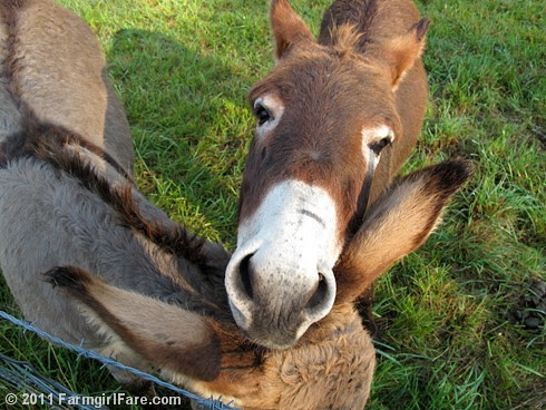 Donkey Gnat Relaxing on Gus' Ears - FarmgirlFare.com