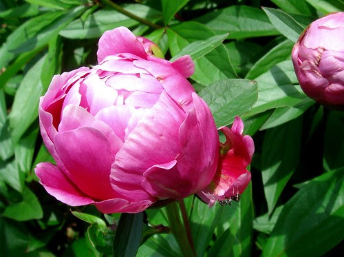 Peony with ant