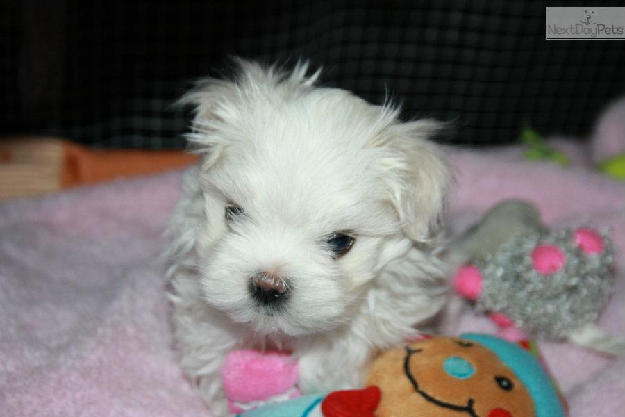 Maltese puppy for sale near Windsor, Ontario | 3b3777ad-ee11