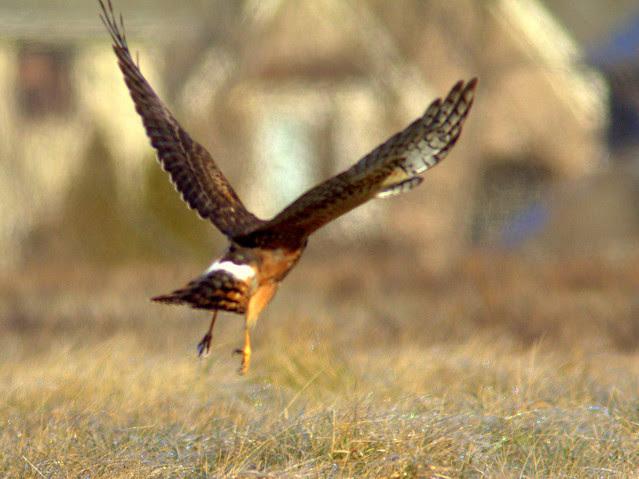 Northern Harrier 3-20130114