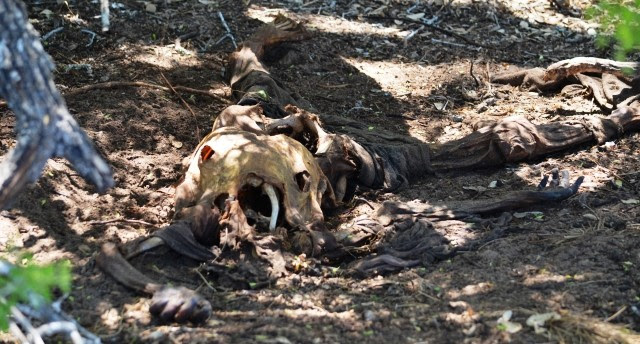 The remains of a female illegal immigrant found by Border Patrol agents in South Texas. (File Photo: Bob Price/Breitbart Texas)