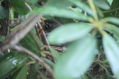 robin on nest 002