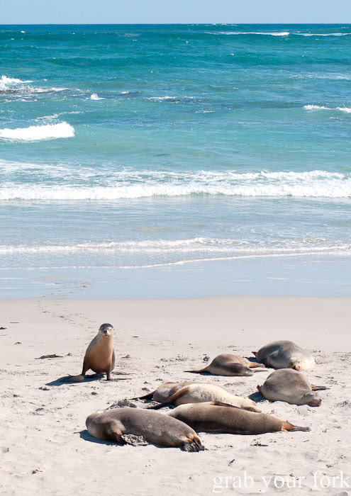 Sea lion returns from a swim at Seal Bay Conservation Park, Kangaroo Island