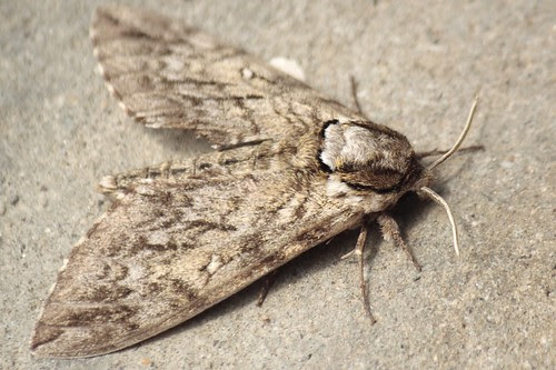 Waved sphinx moth (5) - Copy
