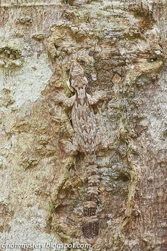 Kuhl's Flying Gecko (<i>Ptychozoon kuhli</i>) IMG_6880 copy