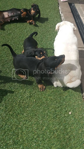 Pure Breed Dachshund Puppies For Sale +1(337) 603-0249