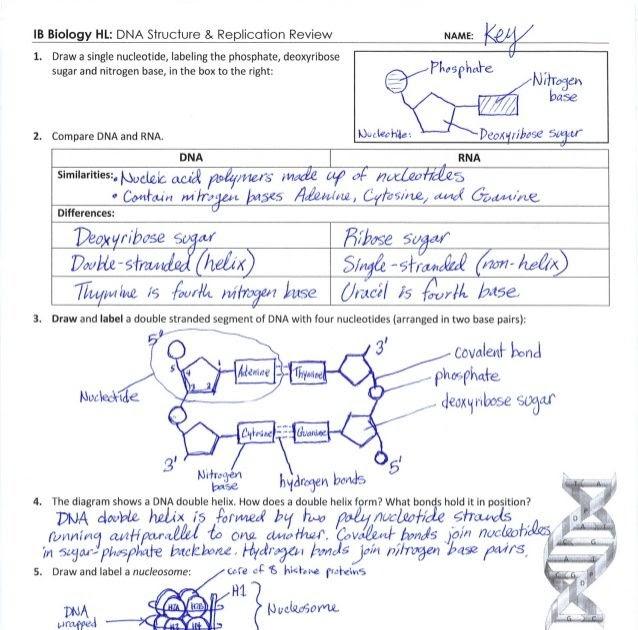 Dna Base Pairing Worksheet Answer Key Pdf - worksheet