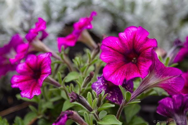 petunia in pink, Prescott Park, Portsmouth, NH