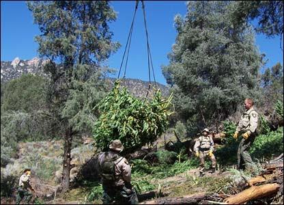 Operación de erradicación de cultivos en California. (Foto cortesía Departamento de Justicia de California).