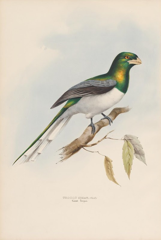 bird lithograph 1830s, coloured by hand